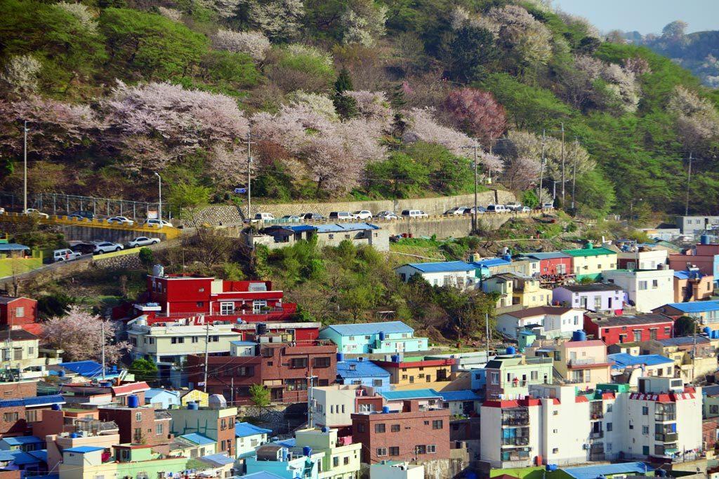 甘川洞文化村櫻花