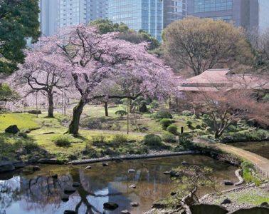 小石川後樂園 櫻花