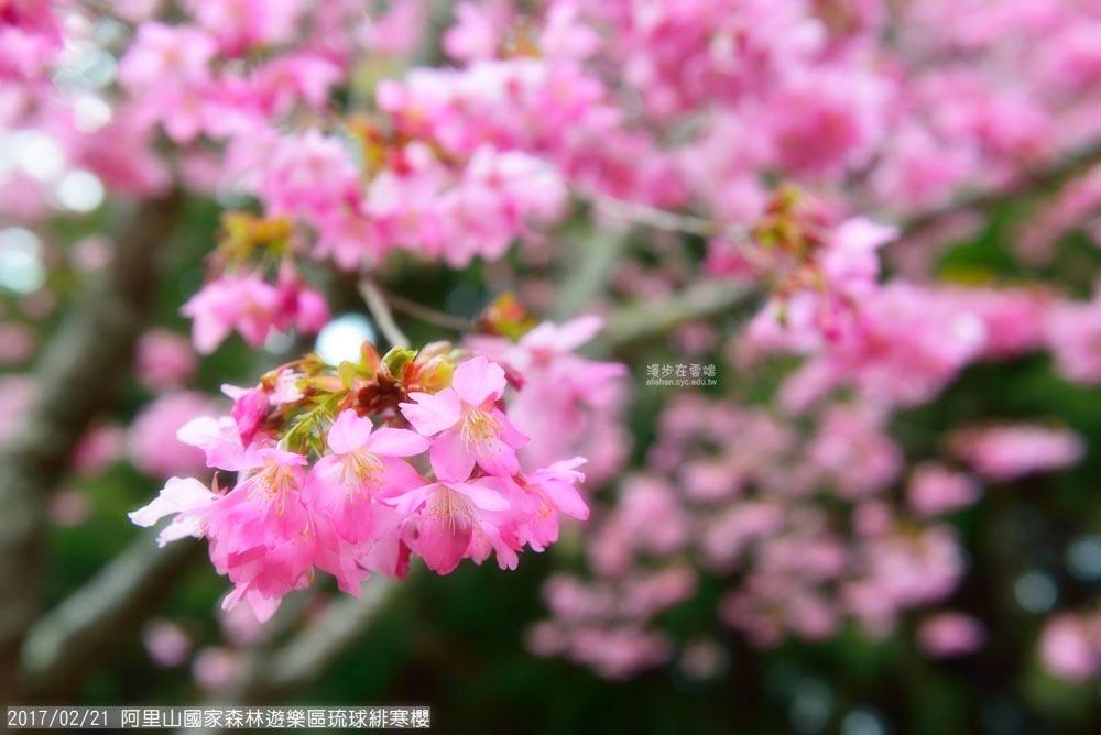 阿里山花季