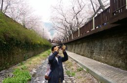 余佐川櫻花大道:半個旅遊記者的故事