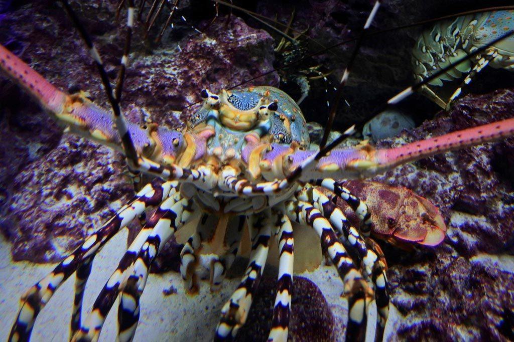 美麗海水族館,龍蝦