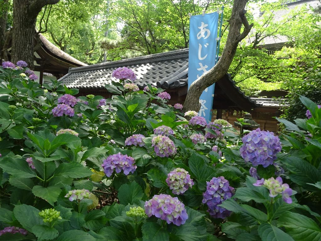 京都藤森神社-紫陽花